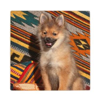 USA, California. Pomeranian Sitting Wood Coaster