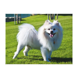 USA, California. Pomeranian Standing Stretched Canvas Prints