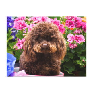 USA, California. Poodle Sitting In Pink Coffee Canvas Print