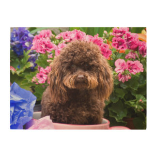 USA, California. Poodle Sitting In Pink Coffee Wood Print