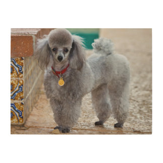 USA, California. Poodle Standing By Tiled Edge Wood Wall Decor