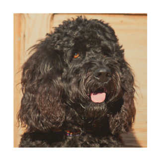 USA, California. Portrait Of A Black Labradoodle Wood Print