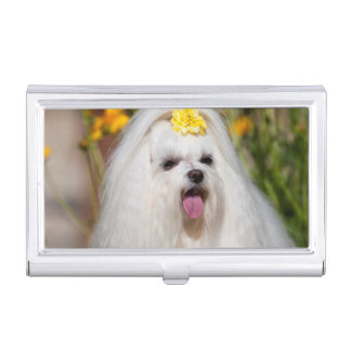 USA, California. Portrait Of A Maltese Case For Business Cards