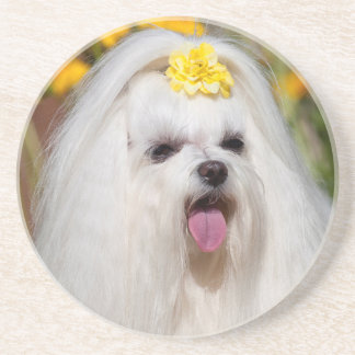 USA, California. Portrait Of A Maltese Coaster
