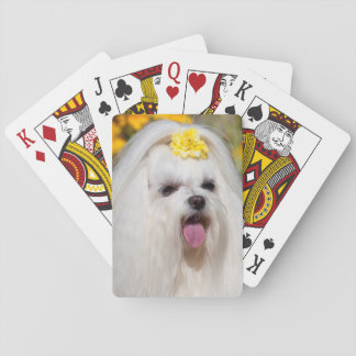 USA, California. Portrait Of A Maltese Playing Cards