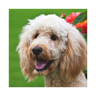 USA, California. Portrait Of Labradoodle 2 Gallery Wrapped Canvas