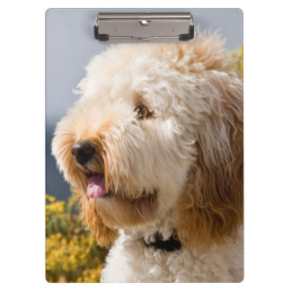 USA, California. Portrait Of Labradoodle 3 Clipboard
