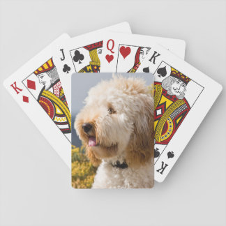 USA, California. Portrait Of Labradoodle 3 Playing Cards