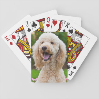 USA, California. Portrait Of Labradoodle Poker Deck