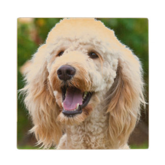 USA, California. Portrait Of Labradoodle Wood Coaster