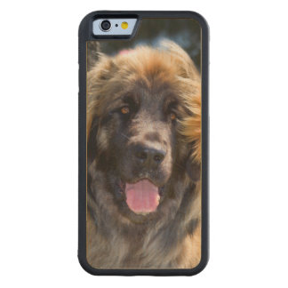 USA, California. Portrait Of Leonberger Sitting Carved Maple iPhone 6 Bumper Case