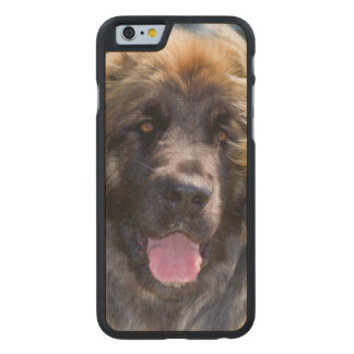 USA, California. Portrait Of Leonberger Sitting Carved Maple iPhone 6 Case