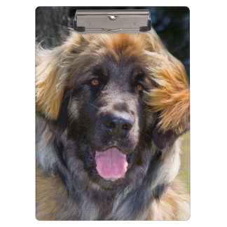 USA, California. Portrait Of Leonberger Sitting Clipboard