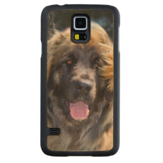 USA, California. Portrait Of Leonberger Sitting Maple Galaxy S5 Case