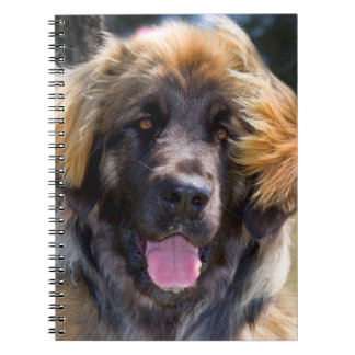 USA, California. Portrait Of Leonberger Sitting Notebooks
