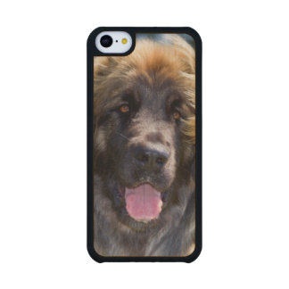 USA, California. Portrait Of Leonberger Sitting Maple iPhone 5C Slim Case