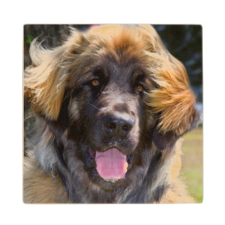 USA, California. Portrait Of Leonberger Sitting Wood Coaster