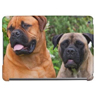 USA, California. Portrait Of Two Mastiffs