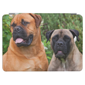 USA, California. Portrait Of Two Mastiffs iPad Air Cover