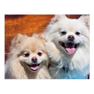 USA, California. Portrait Of Two Pomeranians Postcard