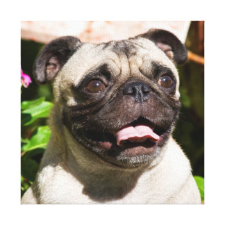 USA, California. Pug Portrait Gallery Wrapped Canvas