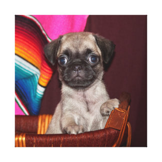USA, California. Pug Puppy In A Wooden Basket Stretched Canvas Prints