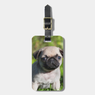 USA, California. Pug Puppy Looking At You Luggage Tag