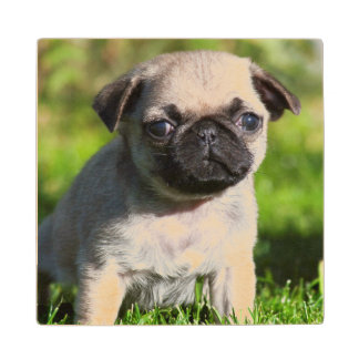USA, California. Pug Puppy Looking At You Wood Coaster