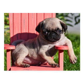 USA, California. Pug Puppy Slouching Postcard