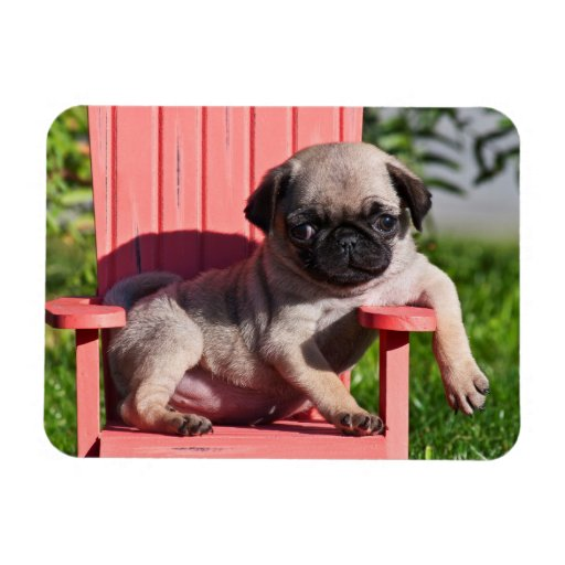 USA, California. Pug Puppy Slouching Rectangular Magnets