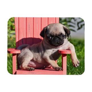 USA, California. Pug Puppy Slouching Rectangular Photo Magnet