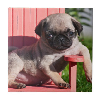 USA, California. Pug Puppy Slouching Tile