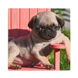 USA, California. Pug Puppy Slouching Wood Coaster