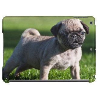 USA, California. Pug Puppy Standing In Grass 2