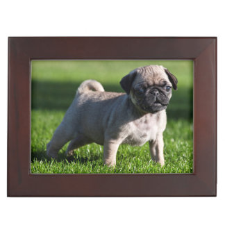USA, California. Pug Puppy Standing In Grass 2 Keepsake Box