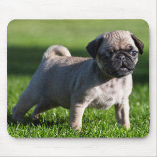 USA, California. Pug Puppy Standing In Grass 2 Mouse Pad