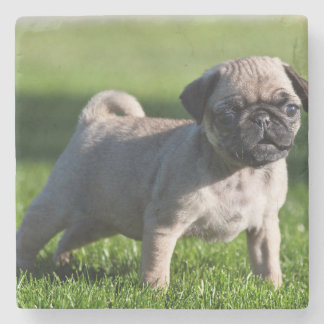 USA, California. Pug Puppy Standing In Grass 2 Stone Coaster