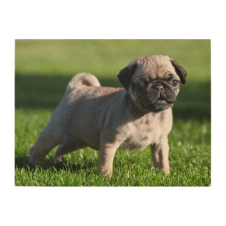 USA, California. Pug Puppy Standing In Grass 2 Wood Canvas