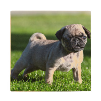USA, California. Pug Puppy Standing In Grass 2 Wood Coaster