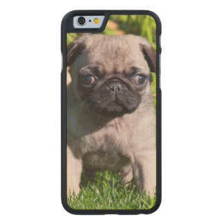 USA, California. Pug Puppy Standing In Grass Carved® Maple iPhone 6 Case