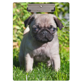USA, California. Pug Puppy Standing In Grass Clipboard