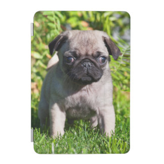 USA, California. Pug Puppy Standing In Grass iPad Mini Cover