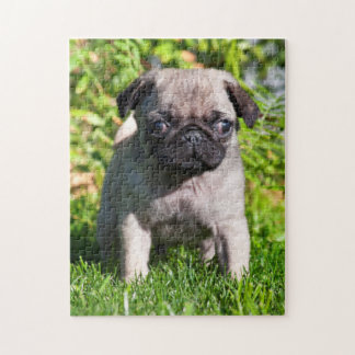 USA, California. Pug Puppy Standing In Grass Jigsaw Puzzle