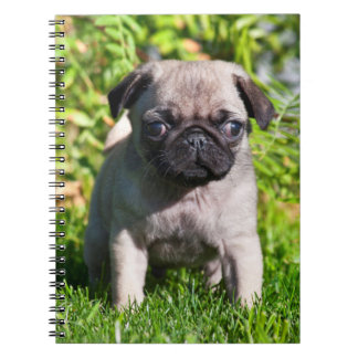 USA, California. Pug Puppy Standing In Grass Notebooks
