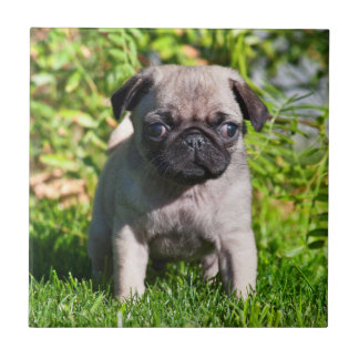 USA, California. Pug Puppy Standing In Grass Tile