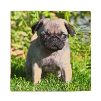 USA, California. Pug Puppy Standing In Grass Wood Coaster