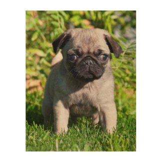 USA, California. Pug Puppy Standing In Grass Wood Print