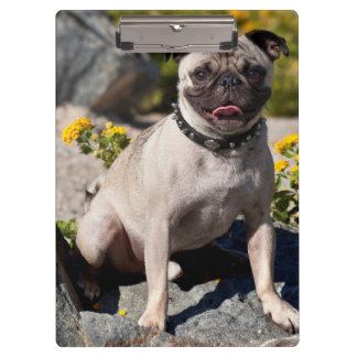 USA, California. Pug Sitting On Boulder Clipboard