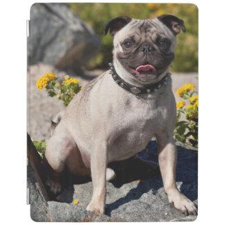 USA, California. Pug Sitting On Boulder iPad Cover
