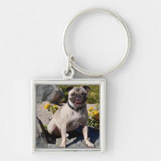 USA, California. Pug Sitting On Boulder Key Ring